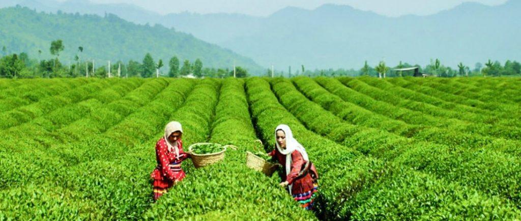کشت چای در ایران
