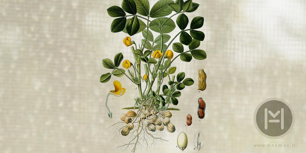 گیاه بادام زمینی