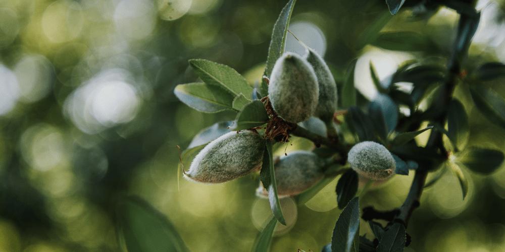 پرورش بادام درختی