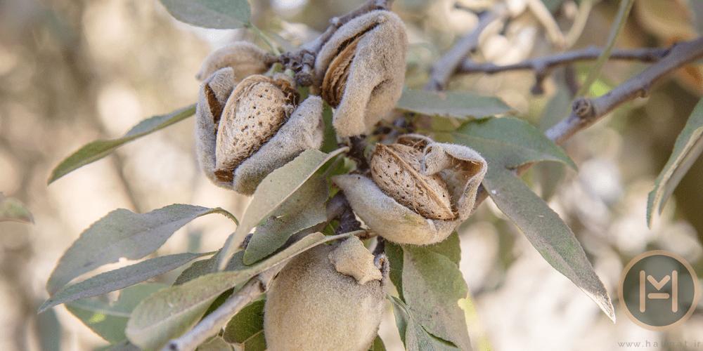 کاشت بادام درختی